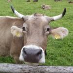Oberstdorf 2012: begrüßt von einer Kuh in der Nähe vom Parkplatz
