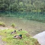 Enten am kristallklaren und türkisfarbenen Wasser des Christlessee bei Oberstdorf