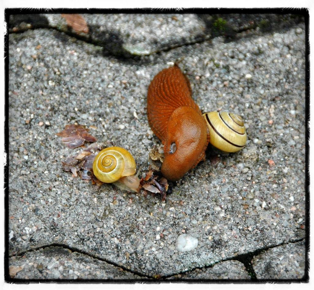 Überreste einer toten Weinbergschnecke