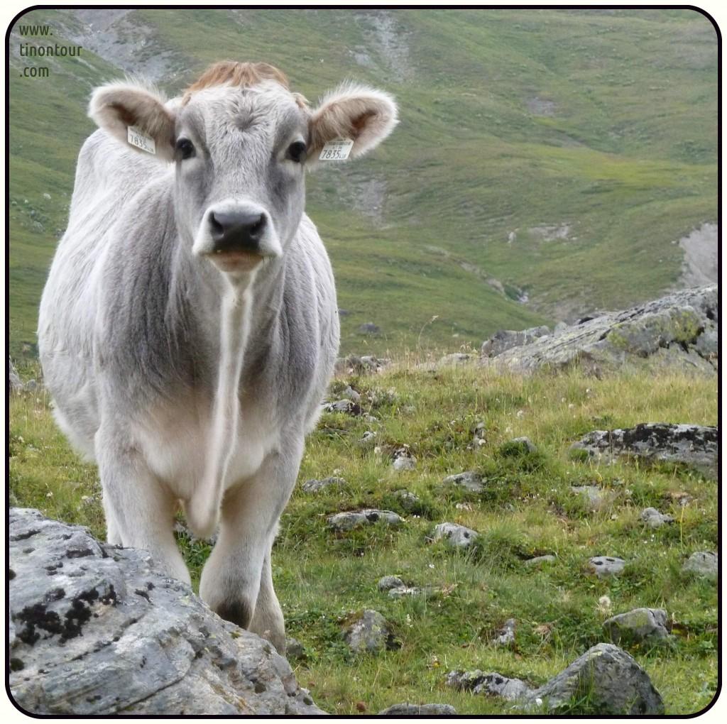 Kleine Kuh