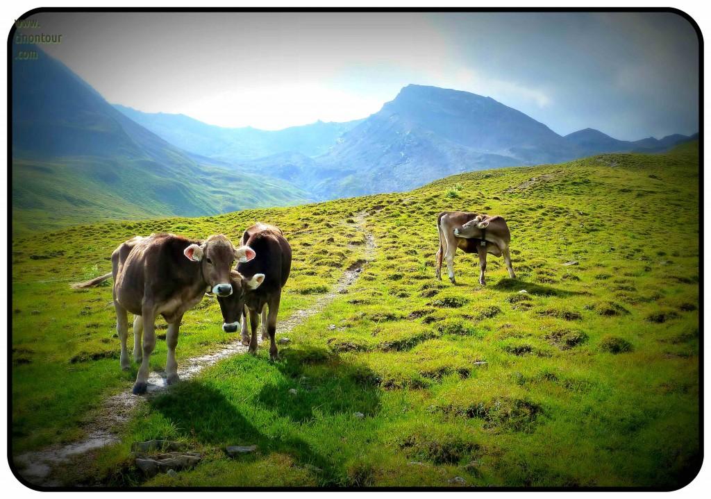 Die absolute Bergidylle - Kühe friedlich am Wegesrand