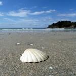 Muschel am Strand von Waiheke