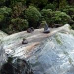 Robben am Milford Sound