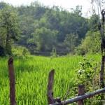 das erste Reisfeld