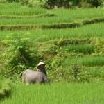 Frau mit Wasserbüffel im Reisfeld