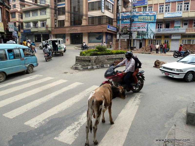 Es gibt sie nicht sehr häufig, aber doch weitaus mehr als in europäischen Städten: Kühe. Sie fühlen sich scheinbar auf der Straße auch noch wohl und lassen sich von hupenden Autos, Mopeds und Lastwagen absolut nicht verschrecken.