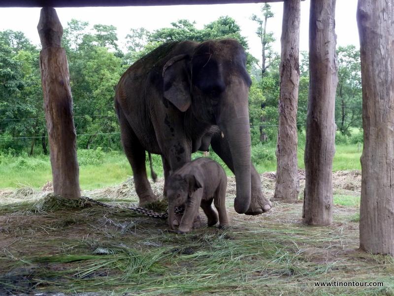 Elefantenfarm - das Baby ist ein Tag zuvor geboren