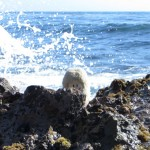 Die Puffbohne am Little corona del mark beach