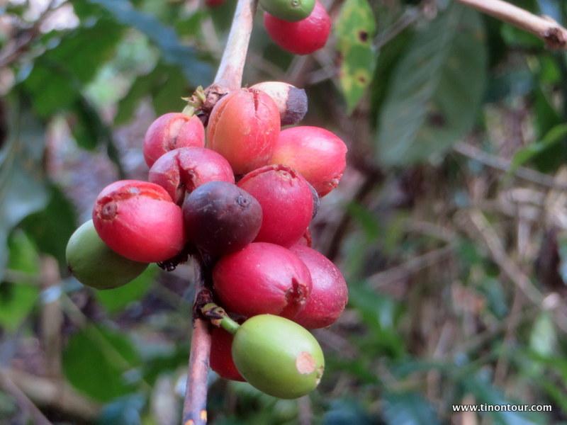 Kaffeebohnen fertig zur Ernte