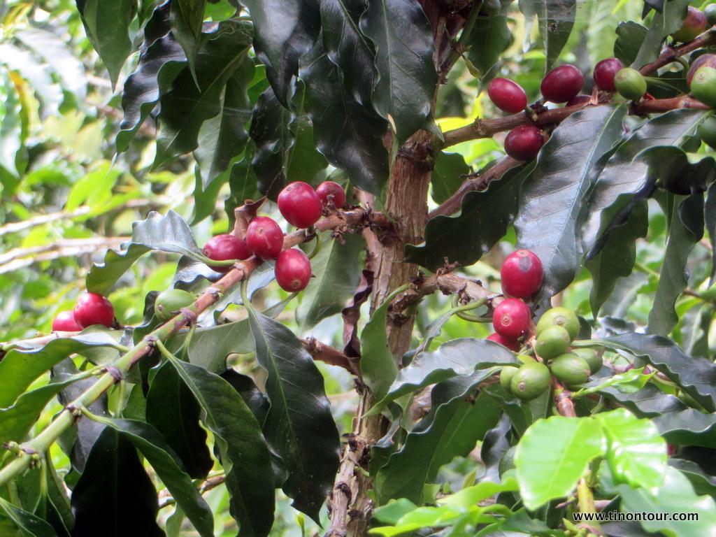 weltreise-2013-19-kolumbien-08-manizales-kaffeeplantage_14-IMG_6957