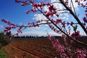 Frühling ist Zeit der Mandelblüte (und verrückten Radfahrer) auf Mallorca